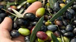 ADEX: Tacna lidera exportación nacional de orégano y aceitunas