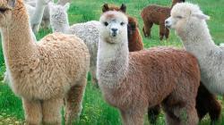 Demanda de fibra de alpaca cayó 50%