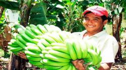 Exportaciones de banano sumaron 17.552 toneladas en marzo de este año