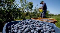 Perú exportará 200 mil toneladas de arándano este año