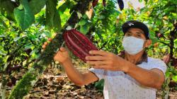 Productores del Alto Huallaga proyectan vender más de 1.632 toneladas de cacao