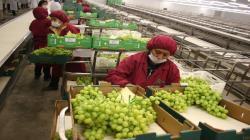 Provid: Exportaciones de uva de mesa crecieron en volumen 17% en la campaña 2020/2021